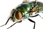 Iridescent house fly in close up — Stock Photo
