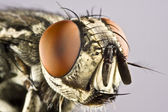 Head of horse fly with huge compound eye — Stock Photo