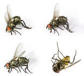 Caballo muerto flys — Foto de Stock