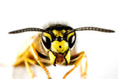 Head of wasp in white background — Stock Photo