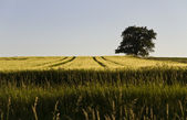 Single tree and grainfield — Stock Photo