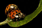 Two ladybugs — Stock Photo