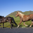 Two Icelandic Horses Running By The Side of A Road — Stock Photo
