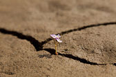 Flower Growing from Dry Cracked Earth — Stock Photo
