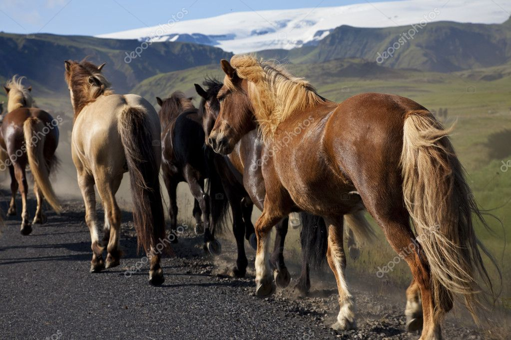 Icelandic horses running down a road while being driven from one field to another. Shot on location in Iceland in early evening golden light. — Stock Photo #6479963