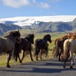 Stock Photo: Icelandic Horses Running On A Road