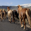 Icelandic Horses Running Along A Road — Stock Photo #6480163