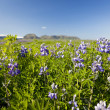 Alaska Lupins Lupinus Nootkatensis Growing Wild In Iceland — Stock Photo