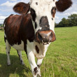 Normandy Cow — Stock Photo #6484059