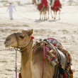 Camels In An Arabian Desert - Stock Photo