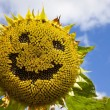 Smiling Sunflower - Stock Photo