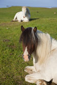 Icelandic Horses At Rest In A Field — Stock Photo