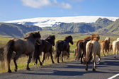Icelandic Horses Running On A Road — Stock Photo