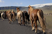Icelandic Horses Running Along A Road — Stock Photo