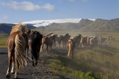 Icelandic Horses Running Down A Road Into Fields — Stock Photo