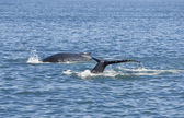 Two Humpback Whales — Stock Photo