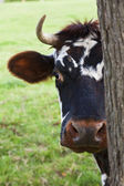 Normandy Cow Looking Out From Behind a Tree — Stock Photo