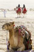 Camels In An Arabian Desert — Stock Photo
