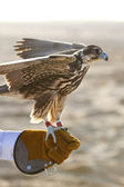 A falcon on falconer — Stock Photo