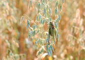 Locusts in the field — Stock Photo