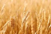 Wheat. — Stock Photo