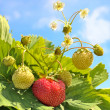 Strawberry — Stock Photo #6580595