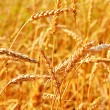 Wheat closeup. — Stock Photo