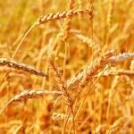 Wheat closeup. — Stock Photo #6580663