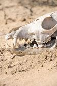 Fox skull — Stock Photo