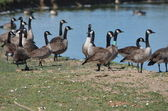 Banded geese — Stock Photo