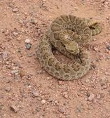 Rattle snake coiled — Stock Photo