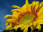 Beautiful sunflower with blue sky — Stock Photo
