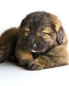 Caucasian mastiff puppy — Stock Photo
