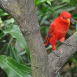Royalty-Free Stock Photo: Red Parrot in the trees.
