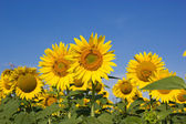 Bees pollinate sunflowers — Stock Photo