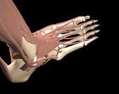 Anatomía del pie — Foto de Stock