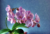 Glowing Orchid — Stock Photo