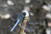 Orthetrum brunneum — Stock Photo