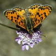 Stock Photo: Melitaea didyma