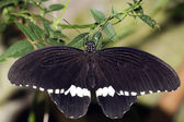 Common Mormon Papilio polytes Linnaeus, 1758 — Stock Photo