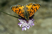 Melitaea didyma — Stock Photo