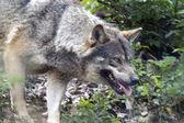 Italian Wolf — Stock Photo