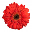 Red gerbera flower isolated on white background — Stock Photo #6479080