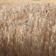 Reeds background — Stock Photo #6479274