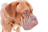 Portrait of french mastiff isolated on white background — Stock Photo