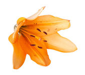 Lily isolated — Stock Photo