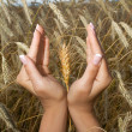 Woman hands holding corns — Stock Photo