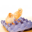 Yellow baby chickens on blue egg carton — Stock Photo