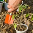 Growing food - planting seedlings - Stock Photo