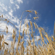 Sense of peace - wheat and blue sky - Stock Photo